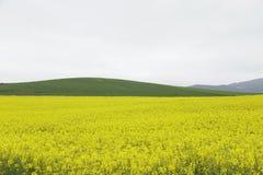 Campo di fioritura del canola o della colza del seme di ravizzone Fotografia Stock Libera da Diritti