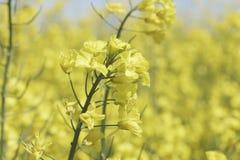 Campo di fioritura del canola o della colza del seme di ravizzone Fotografia Stock