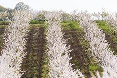 Campo di fioritura del meleto Fotografia Stock