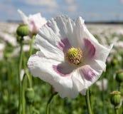 Campo di fioritura del papavero Fotografia Stock Libera da Diritti