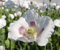 Campo di fioritura del papavero Fotografie Stock Libere da Diritti