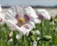 Campo di fioritura del papavero Fotografia Stock