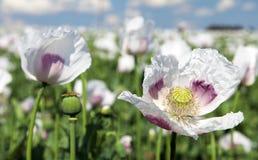 Campo di fioritura del papavero Fotografie Stock