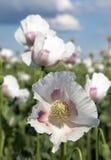 Campo di fioritura del papavero Immagine Stock