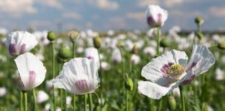 Campo di fioritura del papavero Immagini Stock