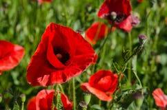 Campo di fioritura del papavero in tempo soleggiato Fotografie Stock Libere da Diritti