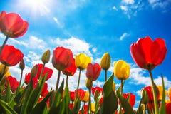 Campo di fioritura del tulipano della primavera Fondo floreale del tulipano della primavera Immagine Stock