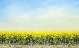 Campo di fioritura di agricoltura della violenza del canola contro cielo blu Fotografia Stock