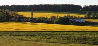 Campo di fioritura di canola Fotografia Stock