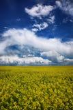 Campo di fioritura di colza all'aperto in primavera immagine stock