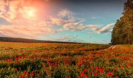 campo di fioritura meraviglioso dei papaveri Tramonto maestoso Fotografie Stock Libere da Diritti