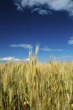 Campo di frumento Fotografie Stock