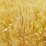 Campo di frumento. fotografia stock