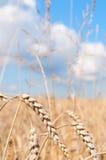 Campo di frumento Fotografia Stock Libera da Diritti