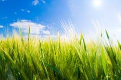 Campo di frumento. Agricoltura fotografie stock