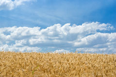 Campo di frumento al giorno di estate Immagine Stock