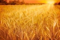Campo di frumento al tramonto Fotografia Stock Libera da Diritti
