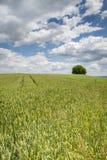 Campo di frumento in Baviera, Germania Immagine Stock