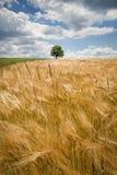 Campo di frumento in Baviera, Germania Fotografia Stock Libera da Diritti