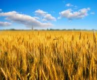 Campo di frumento con cielo blu Fotografia Stock Libera da Diritti