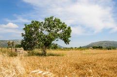 Campo di frumento con un albero Fotografia Stock Libera da Diritti