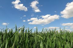 Campo di frumento contro cielo blu Fotografie Stock Libere da Diritti