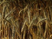 Campo di frumento del cereale Fotografia Stock