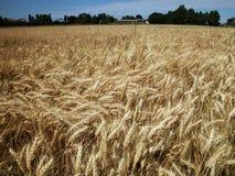 Campo di frumento dell'oro Fotografia Stock