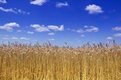 Campo di frumento dell'oro Fotografia Stock Libera da Diritti