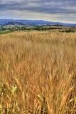 Campo di frumento della Toscana Fotografia Stock Libera da Diritti