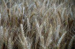 Campo di frumento di estate Fotografie Stock Libere da Diritti