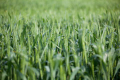 Campo di frumento dopo pioggia Fotografia Stock Libera da Diritti