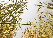 Campo di frumento dorato Immagini Stock Libere da Diritti