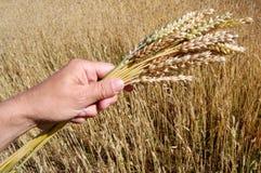 Giacimento di grano dorato immagini stock