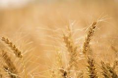 Campo di frumento dorato Fotografie Stock Libere da Diritti