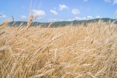 Campo di frumento dorato Immagini Stock