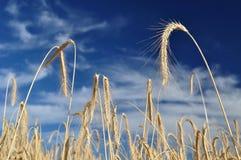 Campo di frumento dorato con cielo blu Fotografie Stock Libere da Diritti