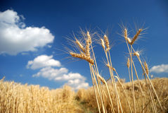 Campo di frumento dorato con cielo blu fotografia stock libera da diritti