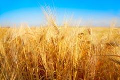Campo di frumento dorato ed il cielo blu Fotografia Stock Libera da Diritti