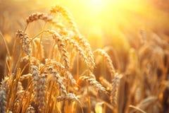 Campo di frumento dorato Orecchie del primo piano del grano Fotografia Stock Libera da Diritti
