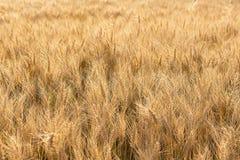 Campo di frumento dorato Priorità bassa dorata Fotografia Stock Libera da Diritti