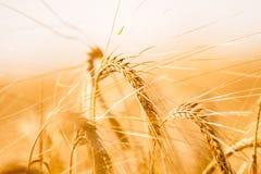 Campo di frumento Fondo delle orecchie di maturazione del giacimento di grano del prato Immagine Stock Libera da Diritti