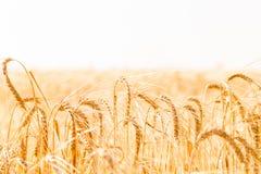 Campo di frumento Fondo delle orecchie di maturazione del giacimento di grano del prato Fotografia Stock