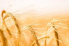 Campo di frumento Fondo delle orecchie di maturazione del giacimento di grano del prato Immagini Stock Libere da Diritti