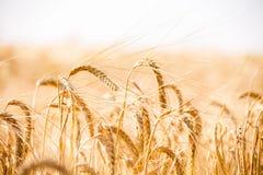Campo di frumento Fondo delle orecchie di maturazione del giacimento di grano del prato Immagini Stock