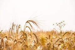 Campo di frumento Fondo delle orecchie di maturazione del giacimento di grano del prato Fotografia Stock Libera da Diritti