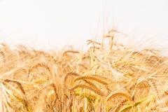 Campo di frumento Fondo delle orecchie di maturazione del giacimento di grano del prato Fotografie Stock Libere da Diritti