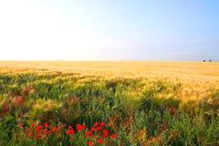 Campo di frumento giallo Fotografie Stock Libere da Diritti