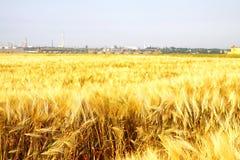 Campo di frumento giallo Immagine Stock