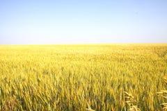 Campo di frumento giallo Immagine Stock Libera da Diritti